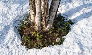Um die Baumstämme schmilzt der Schnee