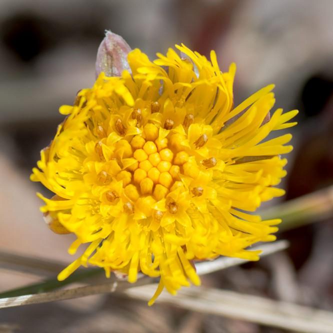 … und öffnet dann seine Blüte in voller Pracht.