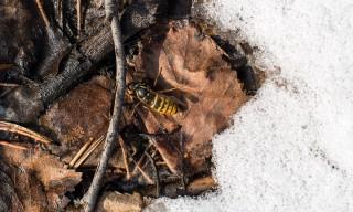 Die erste frühe Wespe