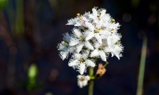 Die Blüte des Fieberklees