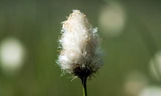 Eines der Wollgräser (schwedisch: Ullsläktet)