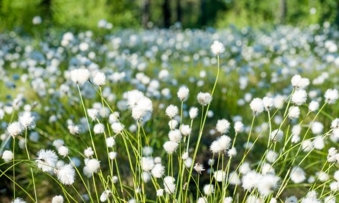 Wollgraswiese