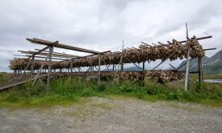 Fischköpfe hängen zum Trocknen