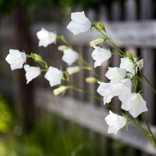 Weiße Glockenblumen