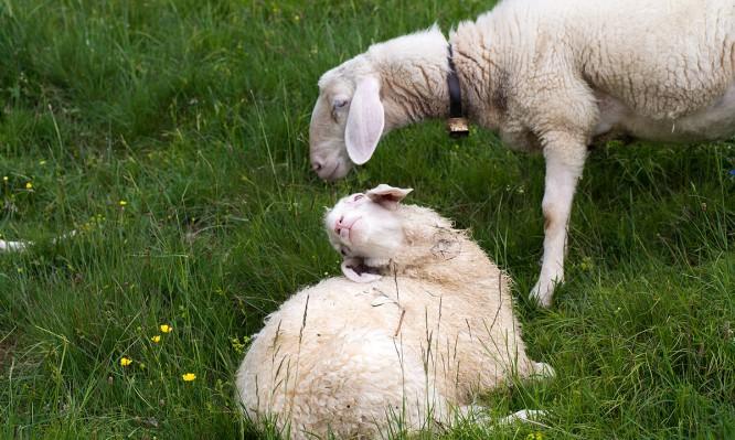 Schafsblicke