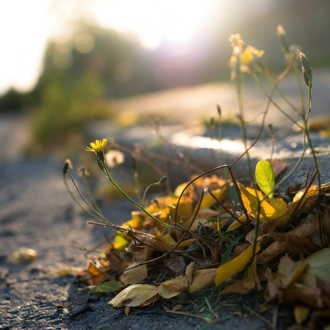 Erstes Herbstlaub umgibt den Herbst-Löwenzahn