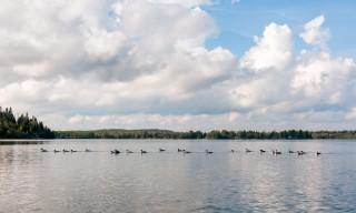 Gänsesäger auf dem Wasser