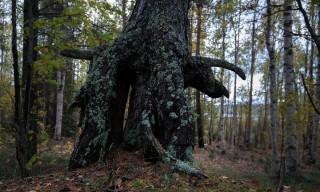 Ein alter Baum –wie auf Pfahlwurzeln