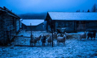 Die meisten Schafe halten still