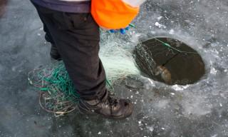 Eine Quappe im Netz