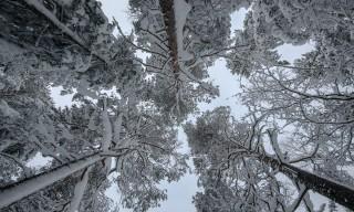 Große verschneite Kiefern