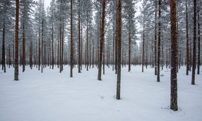 Winterwald auf dem Weg nach Fällfors