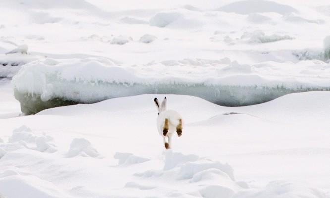 Schneehase, klein, von hinten