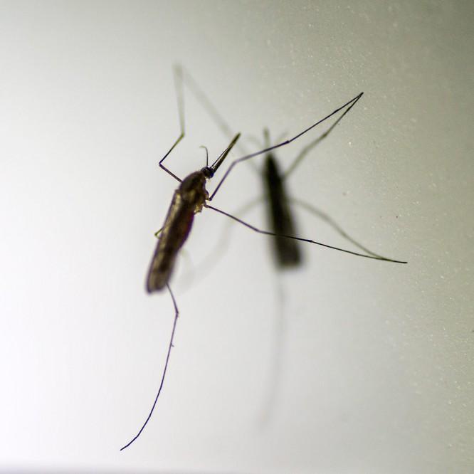 Ein zweites Mückenbild