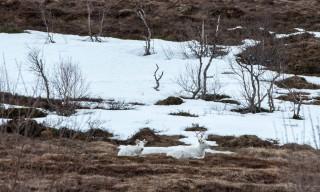 Weiße Rentiere auf dem Fjäll (Ausschnittsvergrößerung)