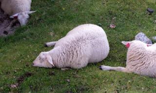 Dösende Schafe