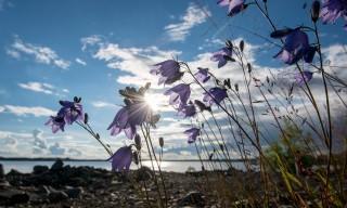 Glockenblumen im Gegenlicht
