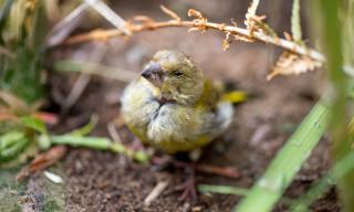 Ein sehr müder Vogelsenior